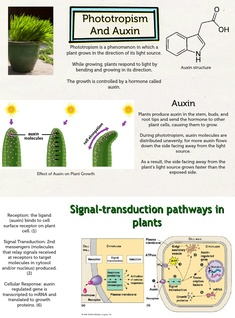Phototropism and Auxin
