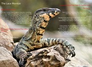 The Lace Monitor's thumbnail