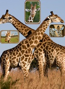CUTEST GIRAFFE'S EVER!!!'s thumbnail
