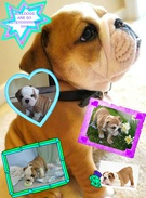 CUTE BULLDOGS!!!!!!!!!!!'s thumbnail