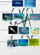 Oceanic Food Web's thumbnail
