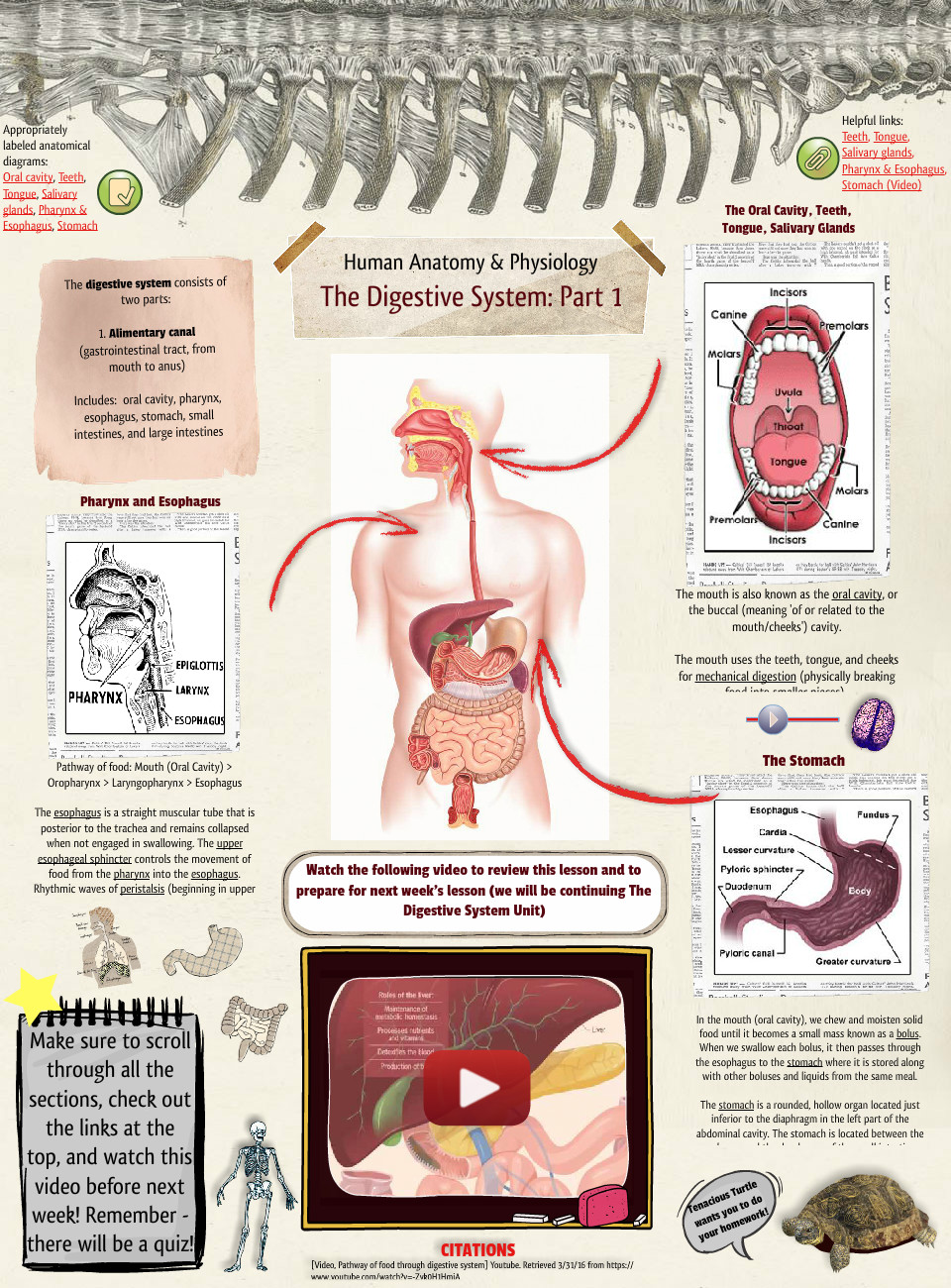 The digestive system digestion en human human anatomy science the digestive system ccuart Image collections